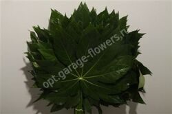 Dec Aralia P.bs Isr.60 Super