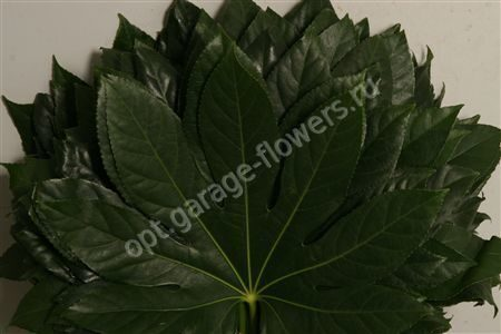 Dec Aralia P.bs Isr.30 Klein