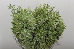 Dec Pittosporum Bont P.bs