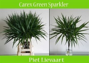 Carex Ph Gr Sparkler