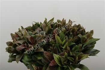 Cordyline Compacta Green Extra