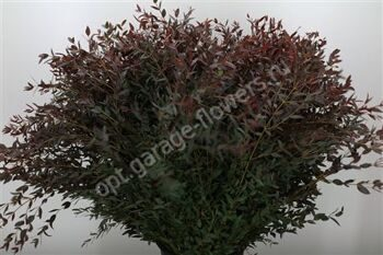 Dec Parvifolia Abs Rood P.bs