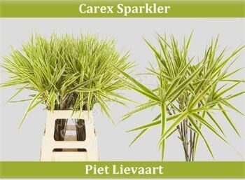 Carex Ph Sparkler