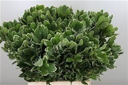 Dec Pittosporum Ilan X50
